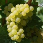 TABLE grape-1688607_1920