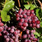 table scarlet-royal-grapes-17382052
