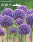 Allium__GLADIATO_506ebad03d48b